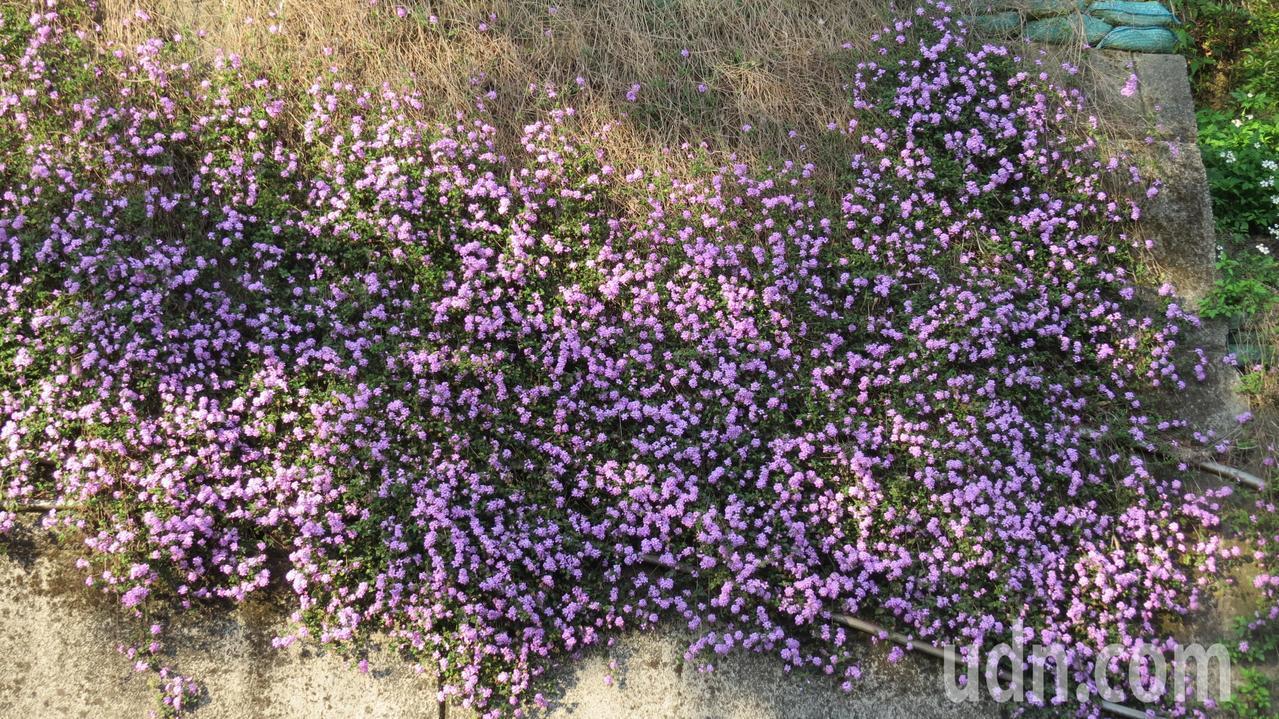 苗栗縣大湖鄉薑麻園130縣道駁坎遍種馬纓丹,一片花團錦簇。記者范榮達/攝影