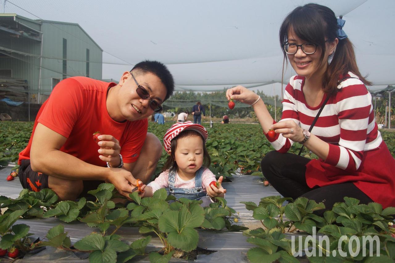 台南善化草莓正紅,新營郵政工會連續25年光顧。記者謝進盛/攝影