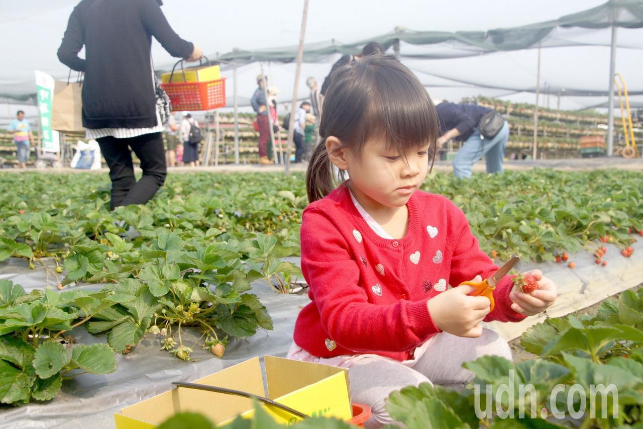 台南善化草莓正紅,小朋友轉專注採果。記者謝進盛/攝影