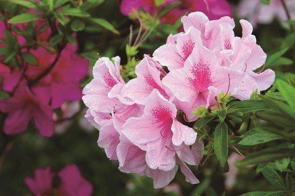 不同種類的杜鵑花各有其外形及生長特色,圖為平戶杜鵑。(圖/台北市政府觀光傳播局提...