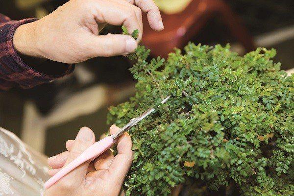 適時修剪是維持植物健康的小撇步。(攝影/劉德媛)