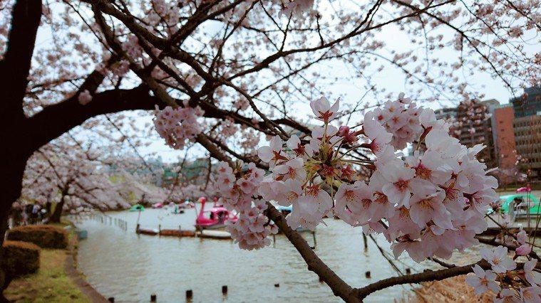 3月即將進入日本賞櫻旅遊旺季,圖為2017年上野公園的櫻花。東京記者蔡佩芳/攝影