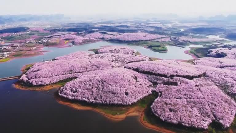 大陸雲貴兩省櫻花海綻放,成為愛櫻人士的朝聖景點。路透
