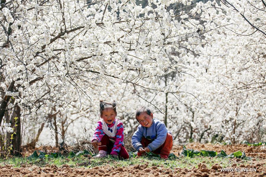 大陸花季開跑,貴州省櫻花海一望無際,吸引大批愛花人士前去賞花。XinhuaNet