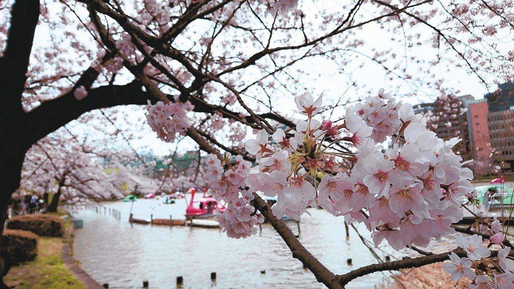 示意圖,為去年上野公園的櫻花,非內文所指假櫻花。 東京記者蔡佩芳/攝影