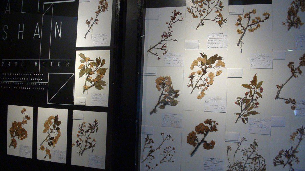 櫻花標本和解說牆。記者謝恩得/攝影