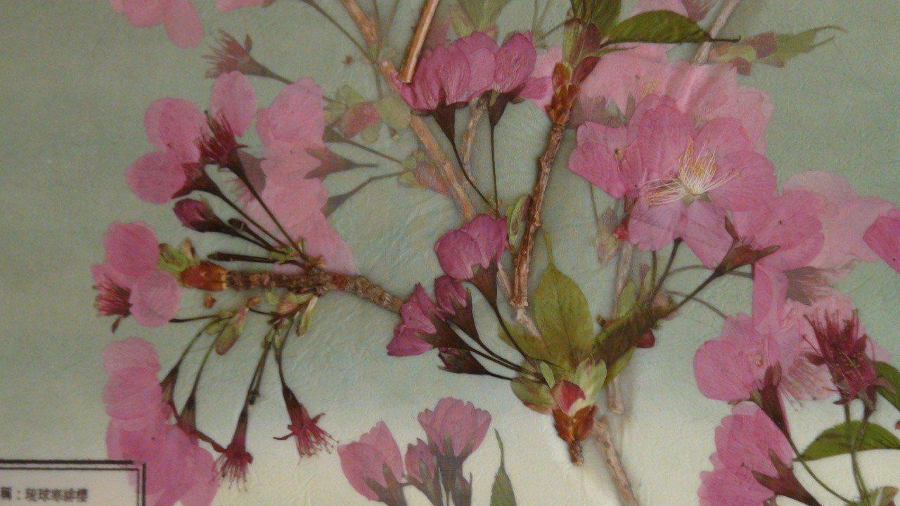 保持櫻花色彩的押花展。記者謝恩得/攝影
