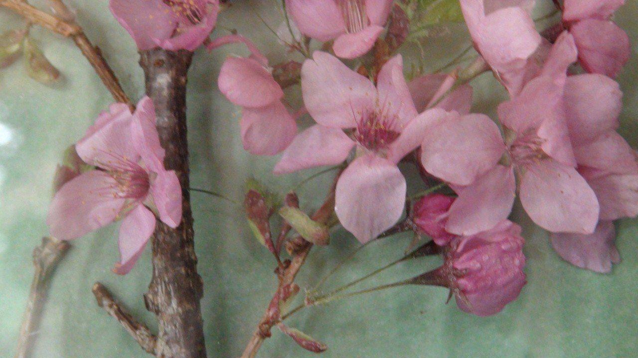 3D櫻花標本。記者謝恩得/攝影