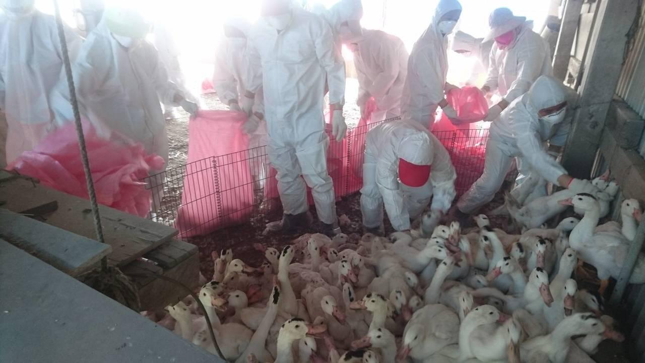 雲林地檢署今天宣布偵破黑心禽流感偽藥,吳姓父女等人收集感染禽流感後仍存活的禽類血...