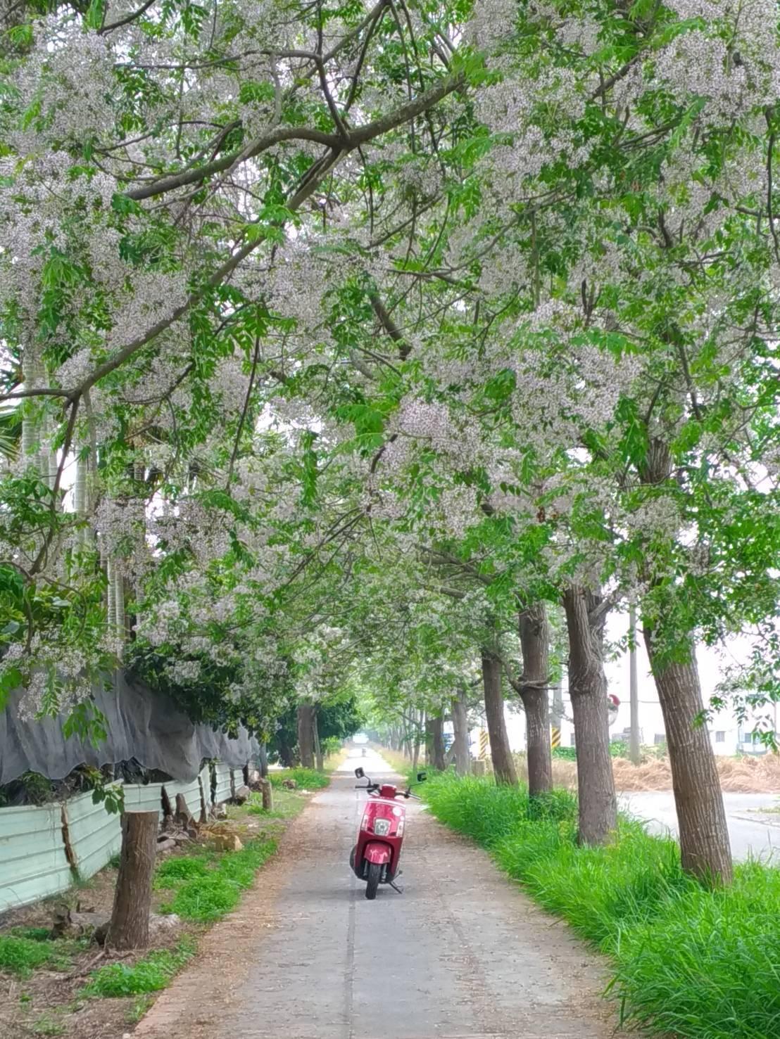 福權自行車道兩旁的苦楝樹在3、4月間開花。圖/王薏瑄提供