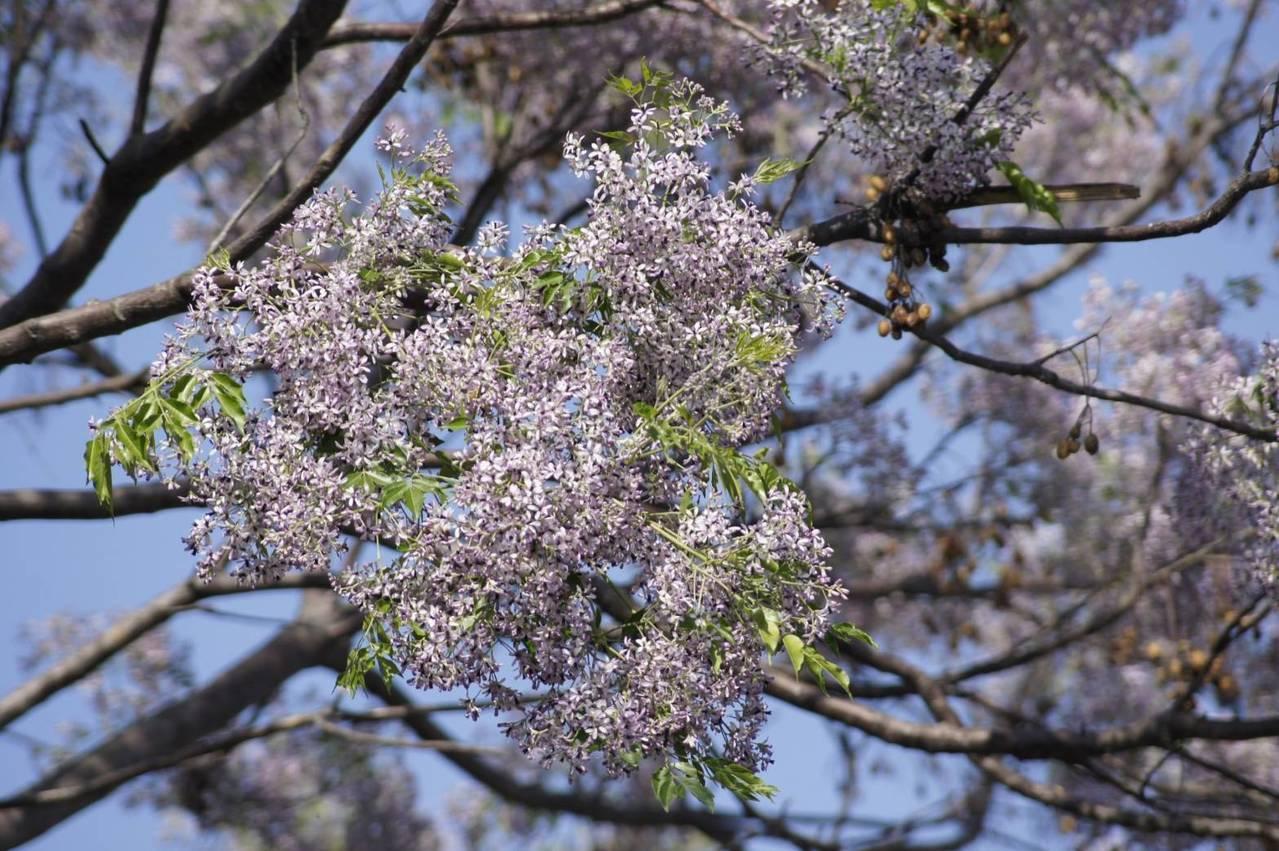 紫色苦楝花飄著濕淡淡清香。圖/王薏瑄提供