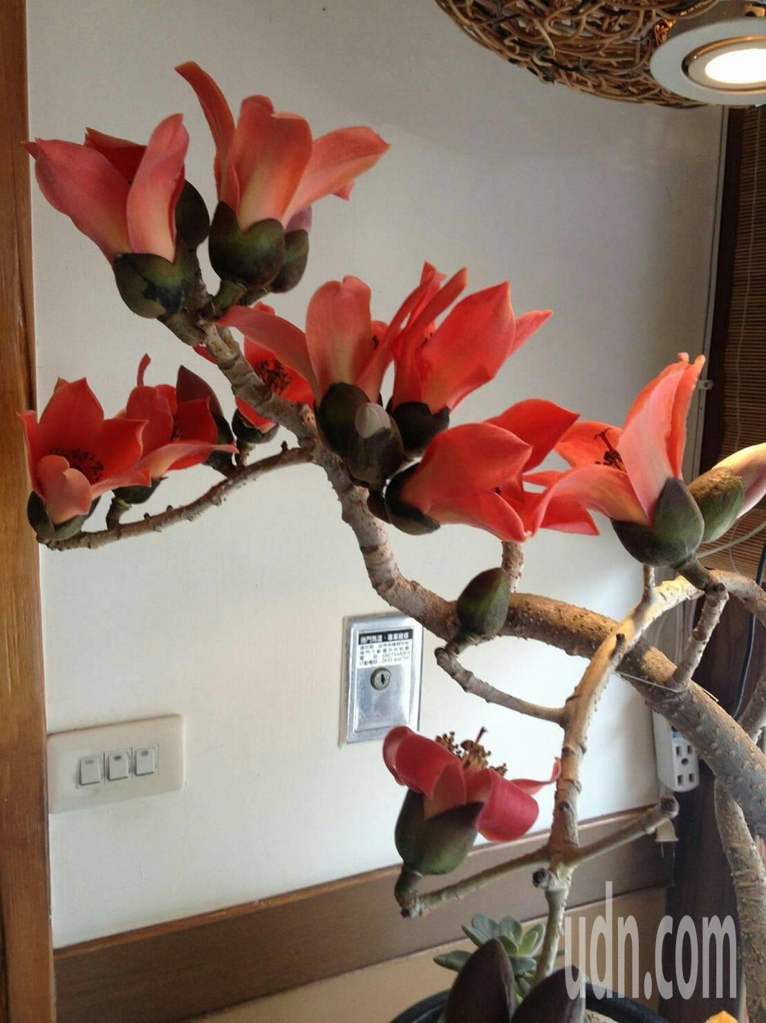 木棉花盆栽各有造型,具觀賞價值。記者林敬家/攝影