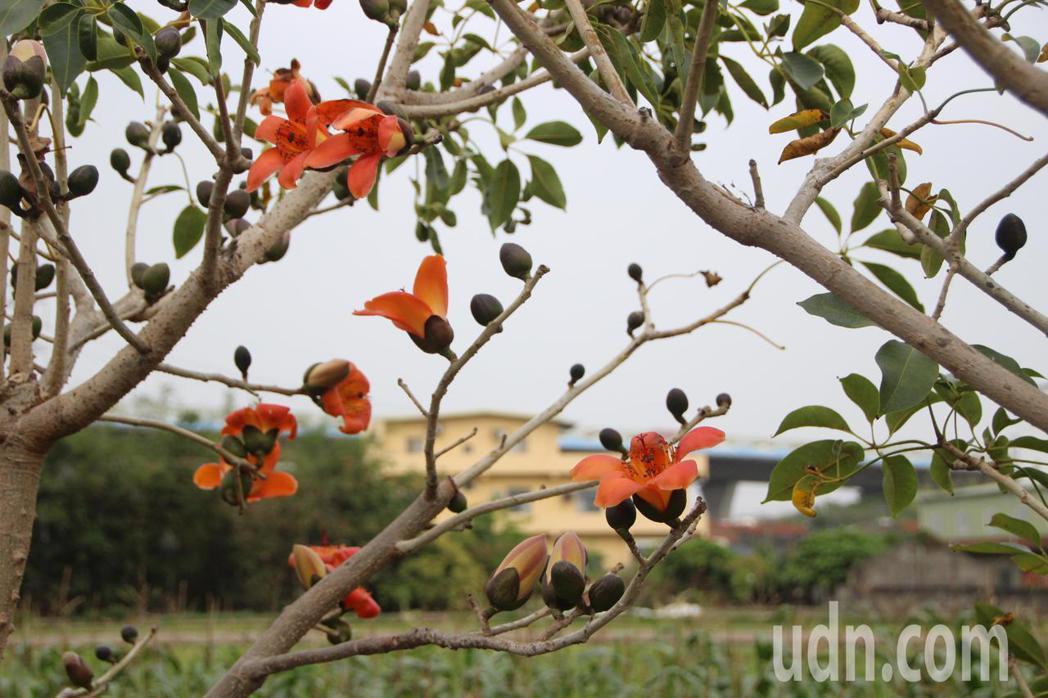 56歲潘清筆花了10多年時間研究木棉花盆栽,矮化的木棉樹更適合觀賞。記者林敬家/...