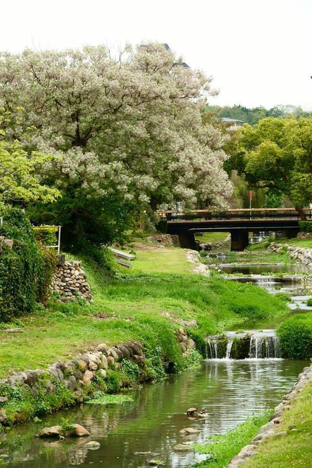 彰化市舊成功營區前南郭坑溪,堤岸旁的苦楝盛開,襯著潺潺流水,美不勝收。照片/馬國...