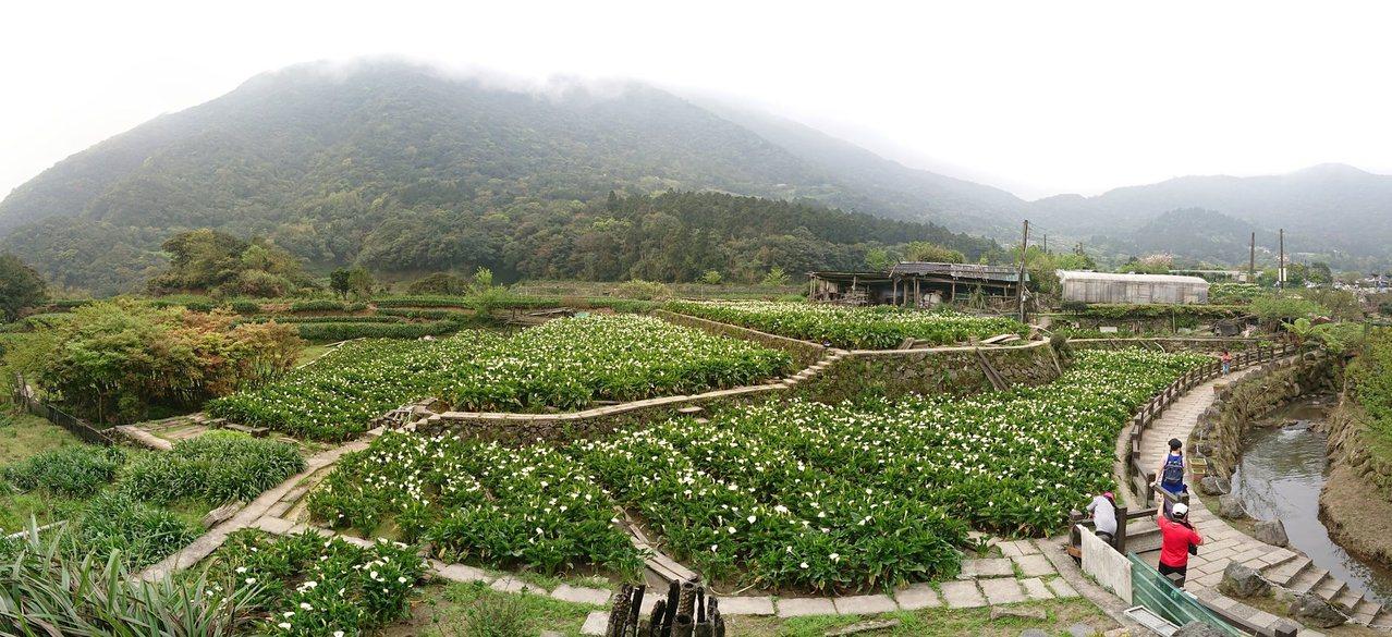 陽明山竹子湖海芋已經開花,民眾可以提早登山賞花。圖/《海芋季》粉絲團授權使用
