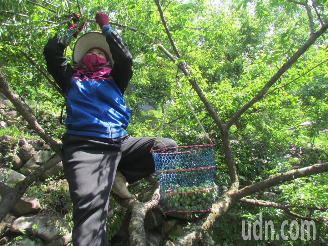 信義鄉農會請農人爬上樹採梅,準備梅子節的製梅DIY活動。記者張家樂/攝影