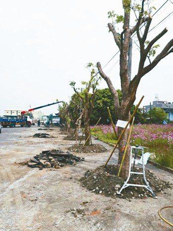 泰安宮前廣場種茄苳樹。 圖/無米樂品質促進會總幹事張美雪提供