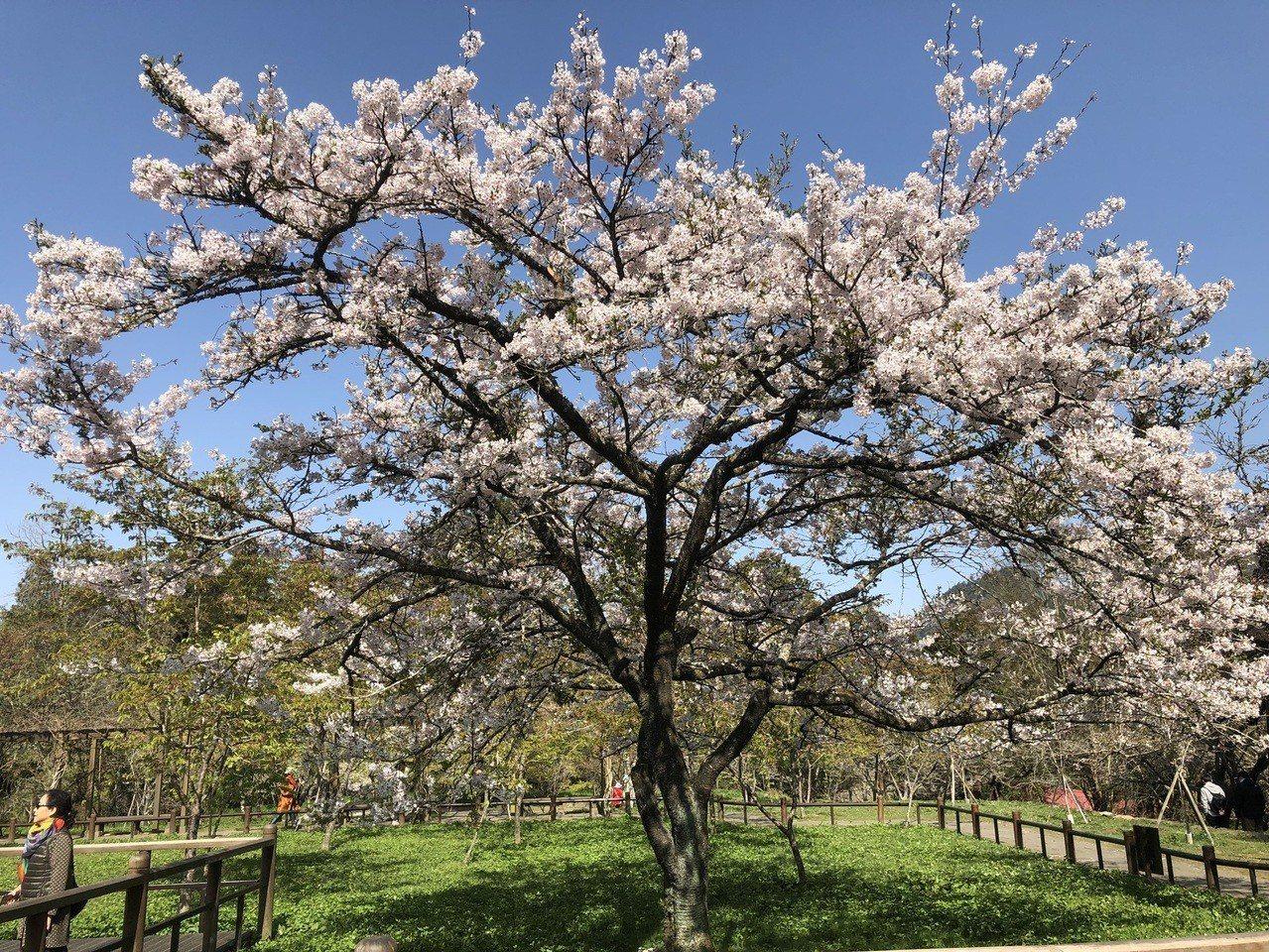 全台灣知名度最高的櫻花樹─阿里山櫻王,這幾天盛開了,盛開後5天內,是最燦爛的櫻王...