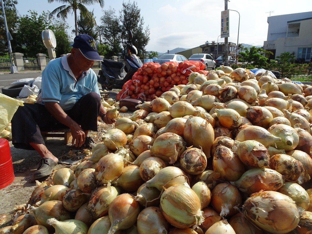 屏東恆春半島洋蔥進入採收期,因中部洋蔥還在採收,市場量大價跌,蔥農咬牙採收。記者...