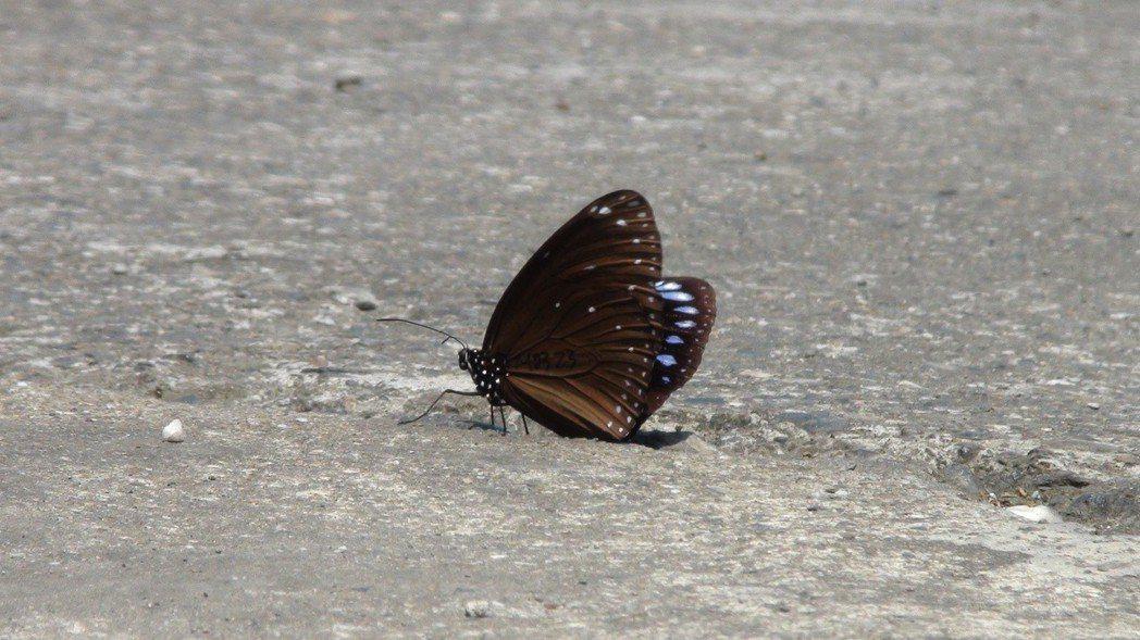 今天上午大群紫斑蝶現蹤國道三號252公里雲林縣林內鄉觸口路段,高峰時每分鐘逾15...