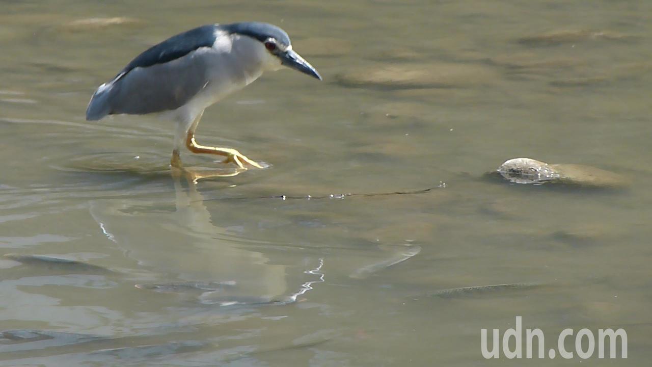 新街溪水位下降只有一般吳郭魚的高度,夜鷺覓食容易多了。記者鄭國樑/攝影