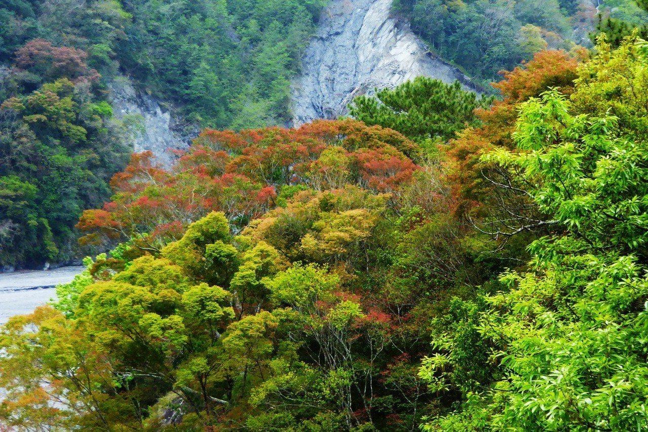 奧萬大國家森林遊樂正值春季,山林植物萌發嫩芽吐芬芳,顯得生氣蓬勃。圖/南投林管處...