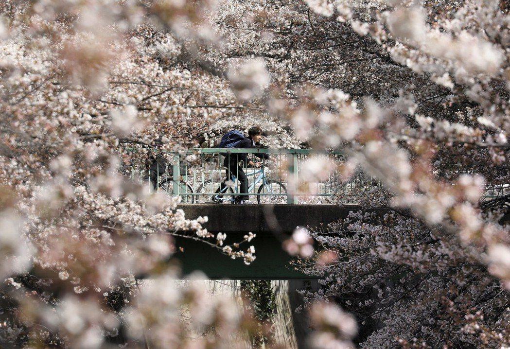 一名年輕男孩在橋上騎單車經過怒放的櫻花。 (歐新社)
