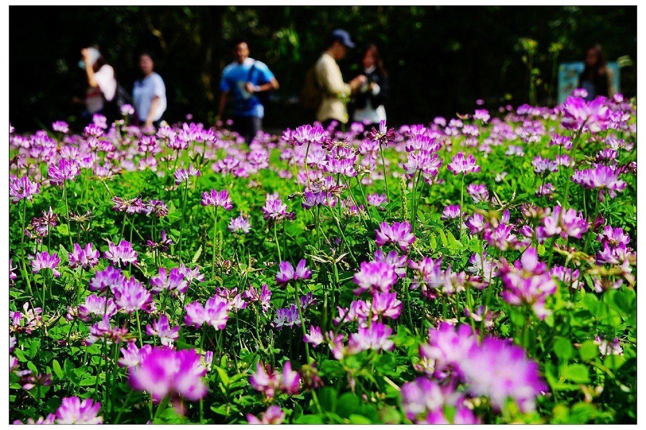 動物園紫雲英花海綻放,美麗景致每天都吸引大批民眾駐足欣賞和拍照。圖/台北市立動物...