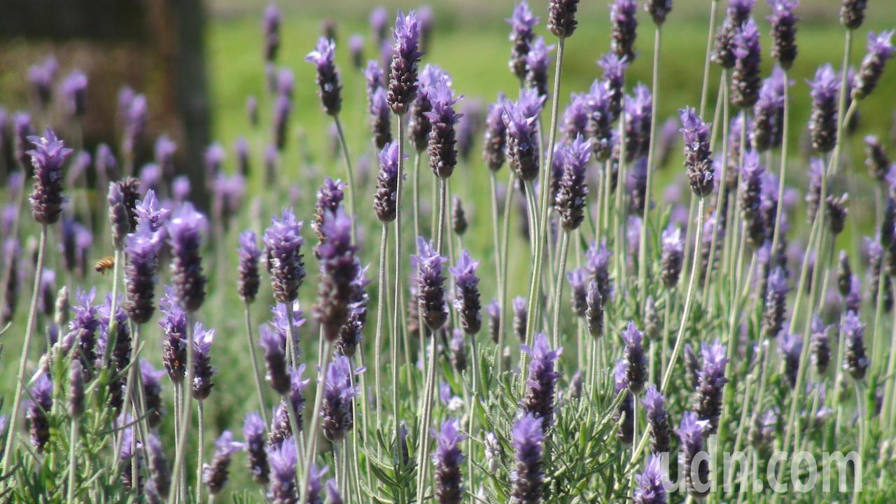 「葛瑞絲香草田」最近已進入花期,超過7000坪的農地栽植了兩萬株的薰衣草,吸引遊...