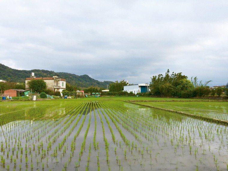東海田向來有新竹米倉的稱號,附近出產的米從日據時代就出名。 圖/朱慧芳提供