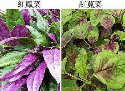 紅鳳菜與紅莧菜。取自科學的養生保健