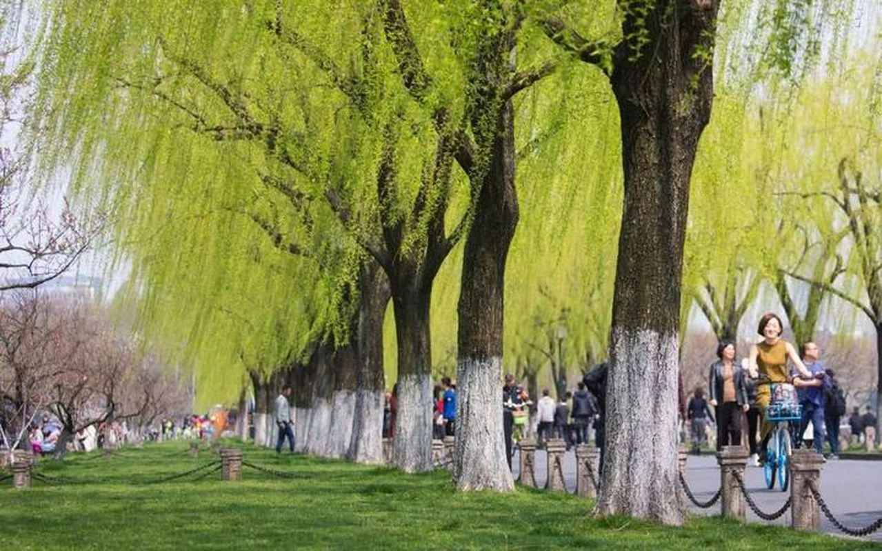 白堤上的柳樹為啥不多不少,一定是146棵? 張詒宣/翻攝
