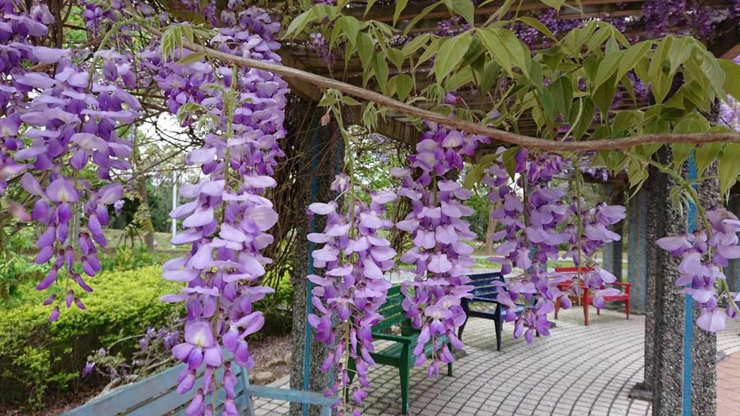 新東陽關西服務區的關西客家公園,紫藤花沿著花架垂落。圖/關西服務區提供