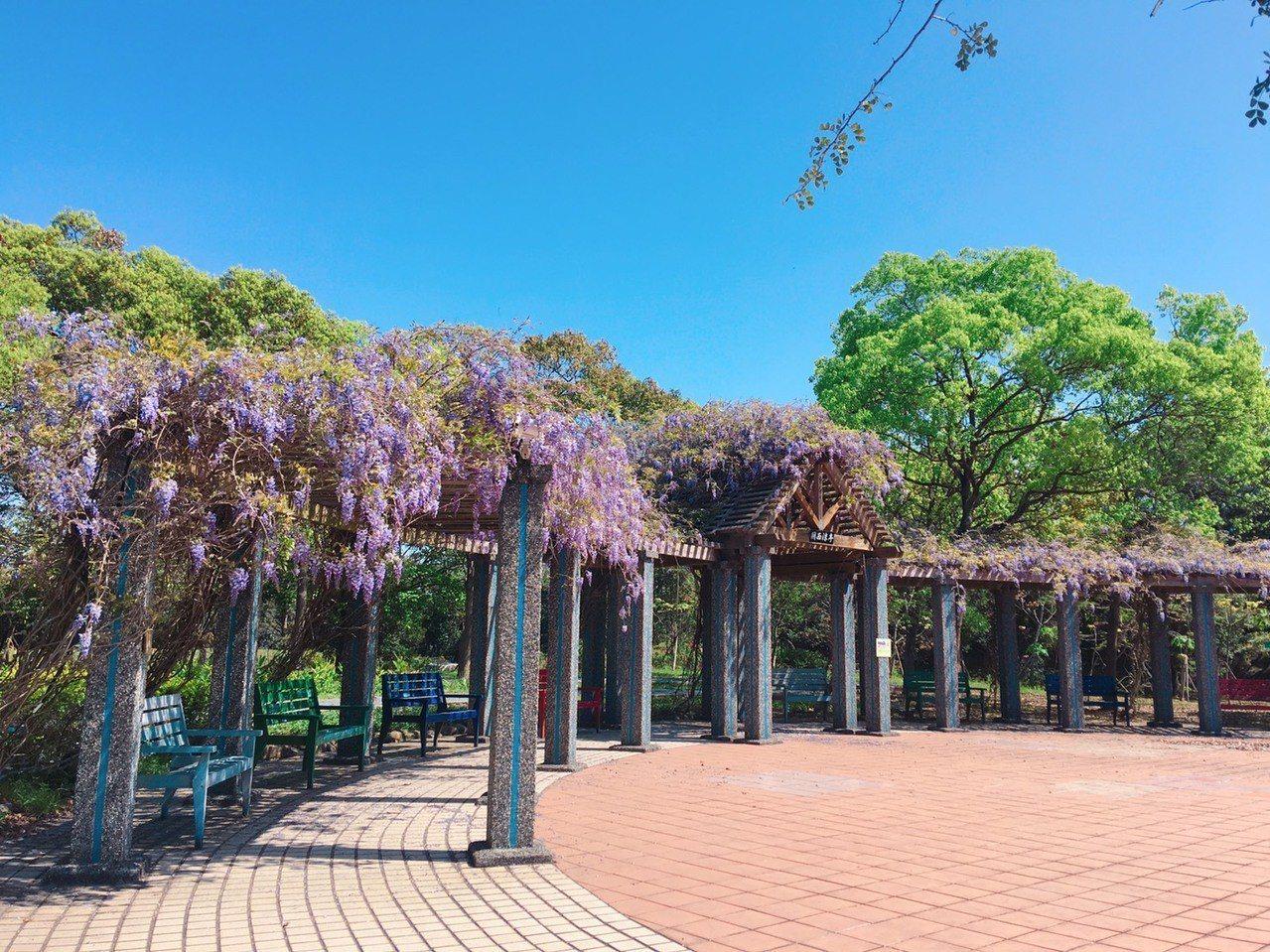 紫藤花沿著花架垂落,串串下垂的花穗如紫蝶般,位置就在關西服務區。圖/關西服務區提...