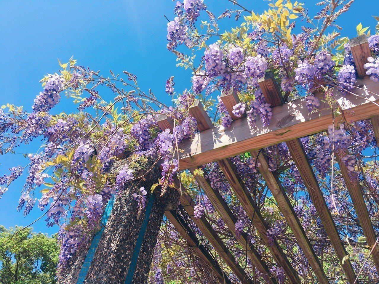 紫藤花期短,下周就會逐漸凋謝。圖/關西服務區提供