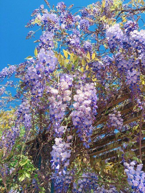 關西服務區主打浪漫紫色、幸福藤雲。圖/關西服務區提供