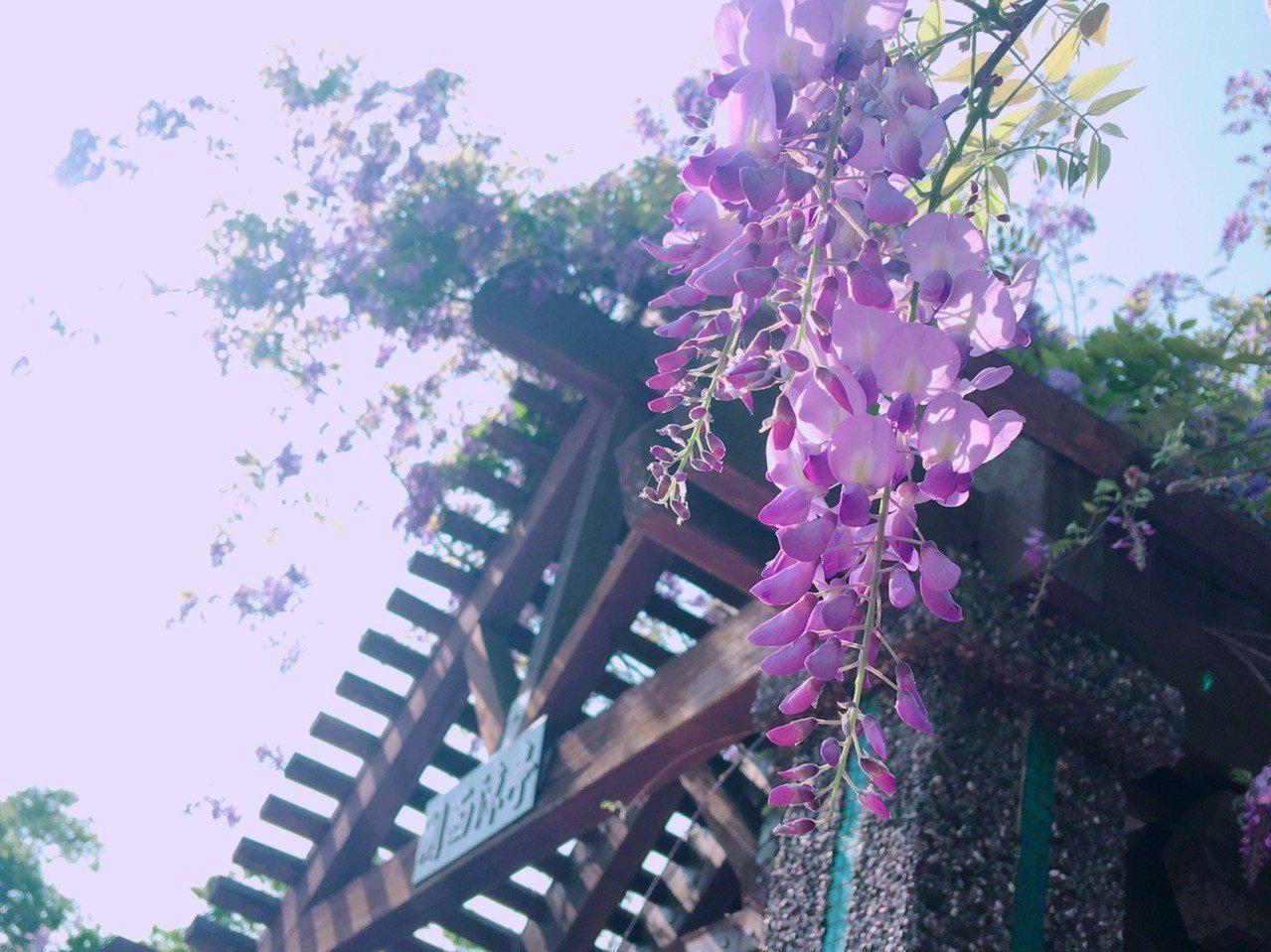紫藤花拍起來相當浪漫。圖/關西服務區提供