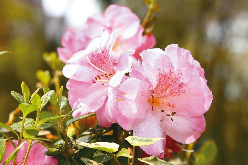 杜鵑花。 圖╱台北市觀光傳播局提供,許宜容攝