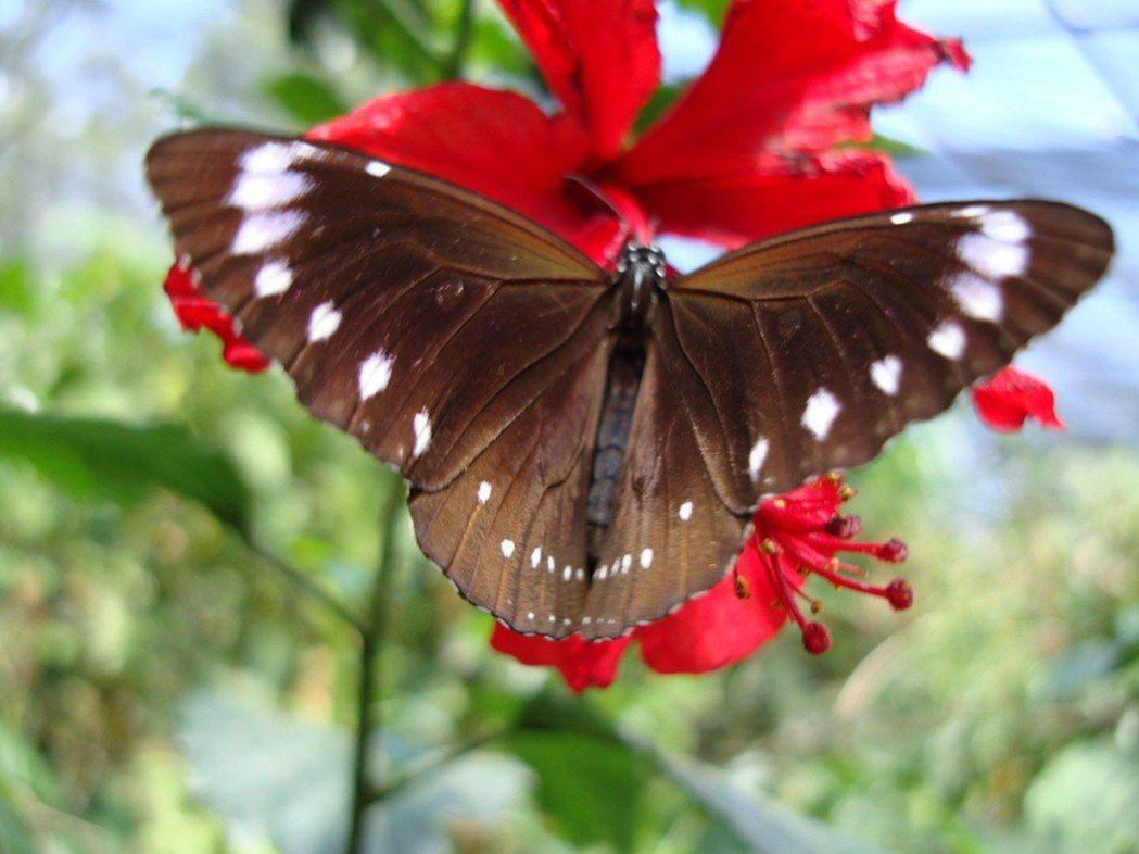 每年清明節前後,紫斑蝶(圖)會從高雄茂林等地北飛遷徙登場,通過雲林縣林內鄉、飛越...
