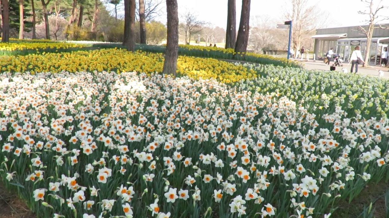 日本茨城縣的常陸海濱公園有品種繁多的花卉,堪稱「花的樂園」,每個季節都有嬌點。3...