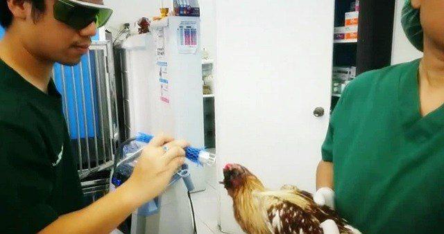 獸醫檢查後認定這是一隻雄性鬥雞,頭部可能是被動物咬掉或被刀割掉。泰國頭條新聞