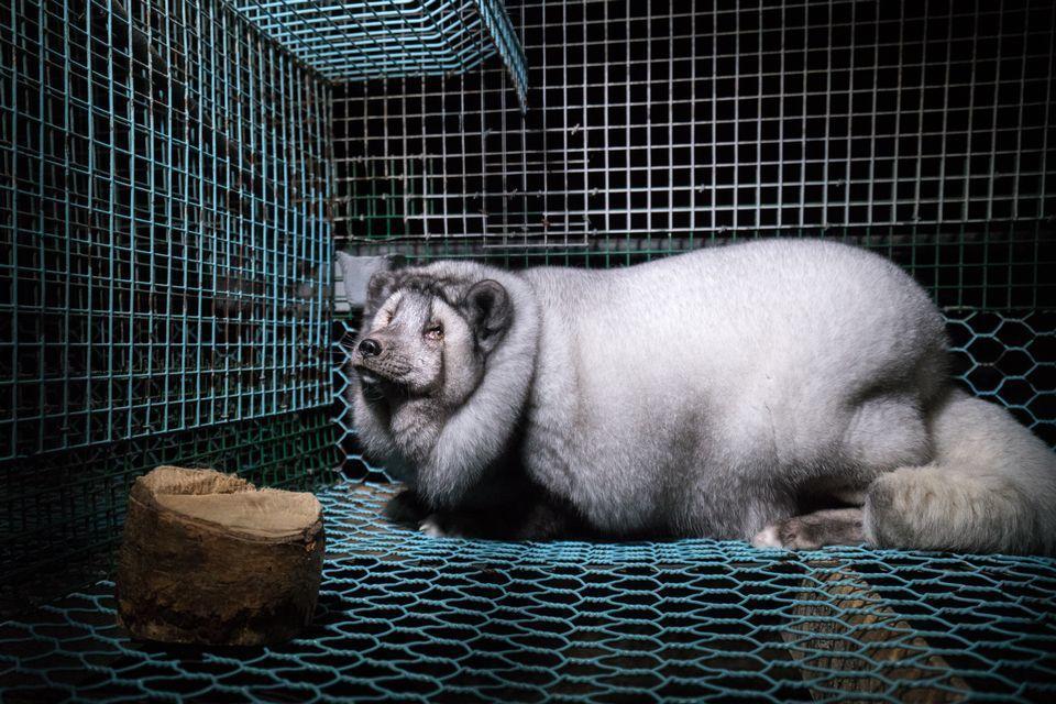 因皮草產業而被飼養出來的「怪物狐狸」。 圖/取自Fur Free Allianc...