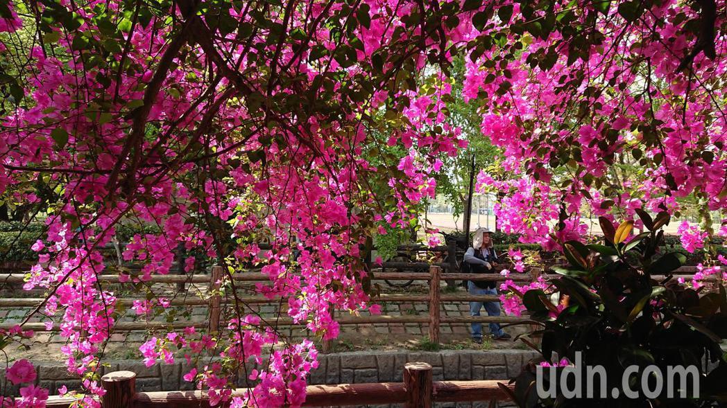 台南新化南圳綠堤上的九重葛盛開一片火紅,吸引攝影愛好者拍照。記者吳淑玲/攝影