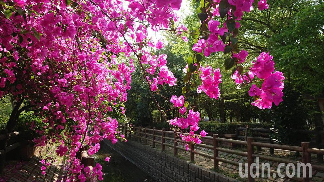 台南新化南圳綠堤上的九重葛盛開相當漂亮。記者吳淑玲/攝影