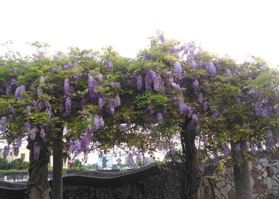 宜蘭深洲農地重劃區的花架長滿紫藤花,芳香紫花隨風飄落,非常美麗。圖╱讀者提供