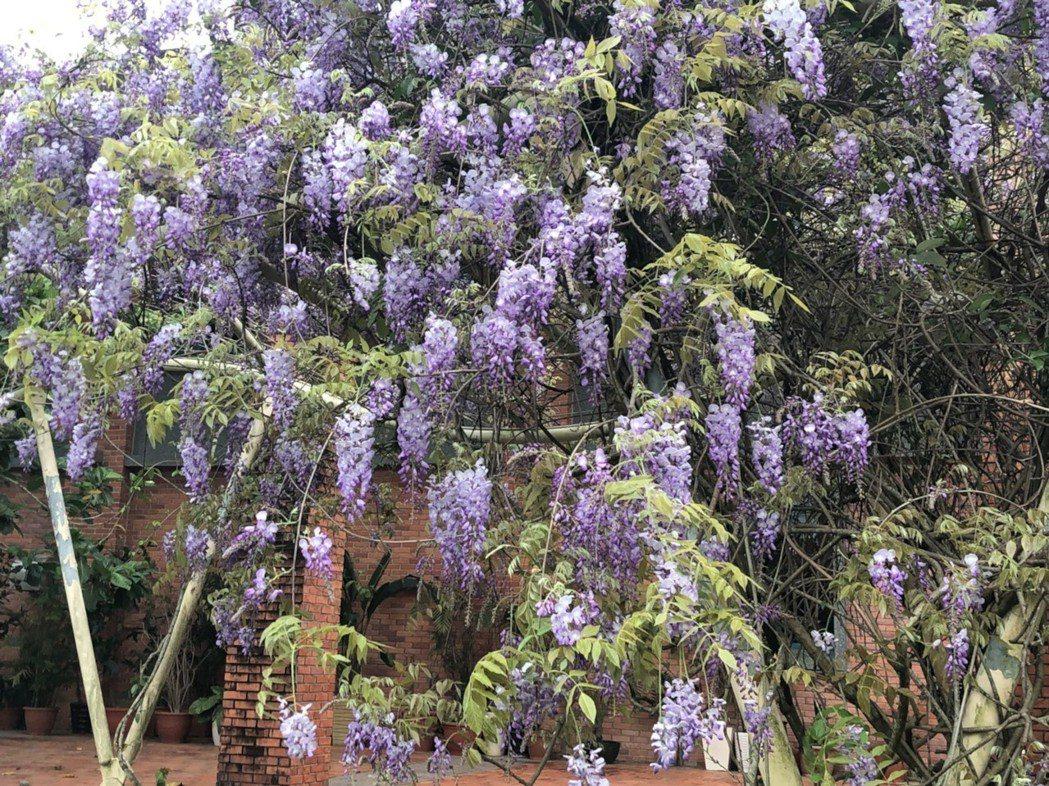 宜蘭縣議會紅牆旁的紫藤花開,讓人以為是度假勝地。圖╱讀者提供