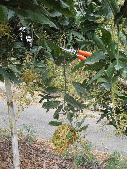 罹病花穗往病癥處上方修剪45至60公分。圖/台南區農改場提供