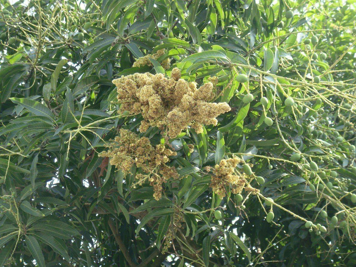 罹病芒果花穗不會謝花,很容易發現。圖/台南區農改場提供