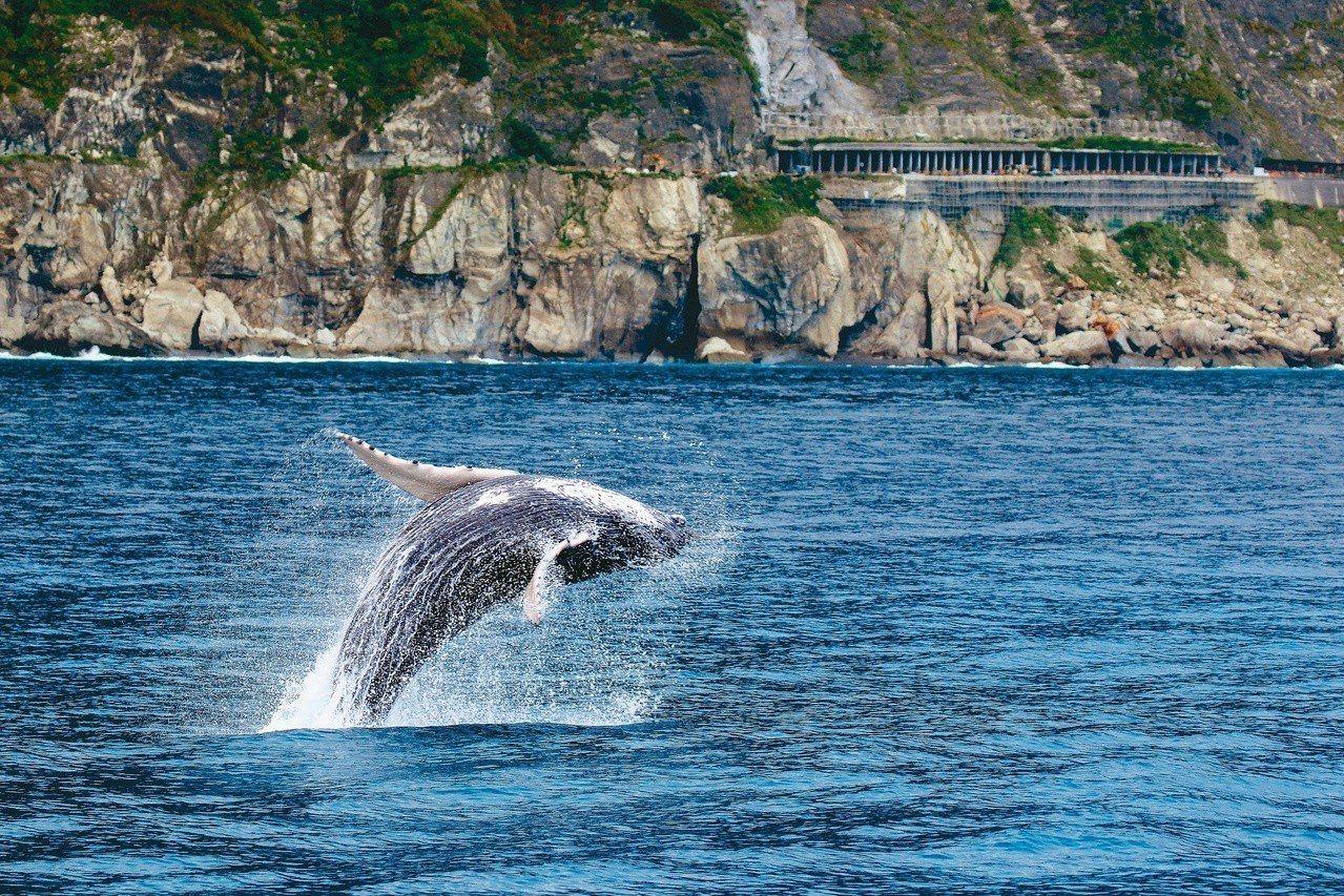 大翅鯨寶寶在連公路上往來車輛都清晰可見的近岸距離躍身擊浪! 今日登場/金磊