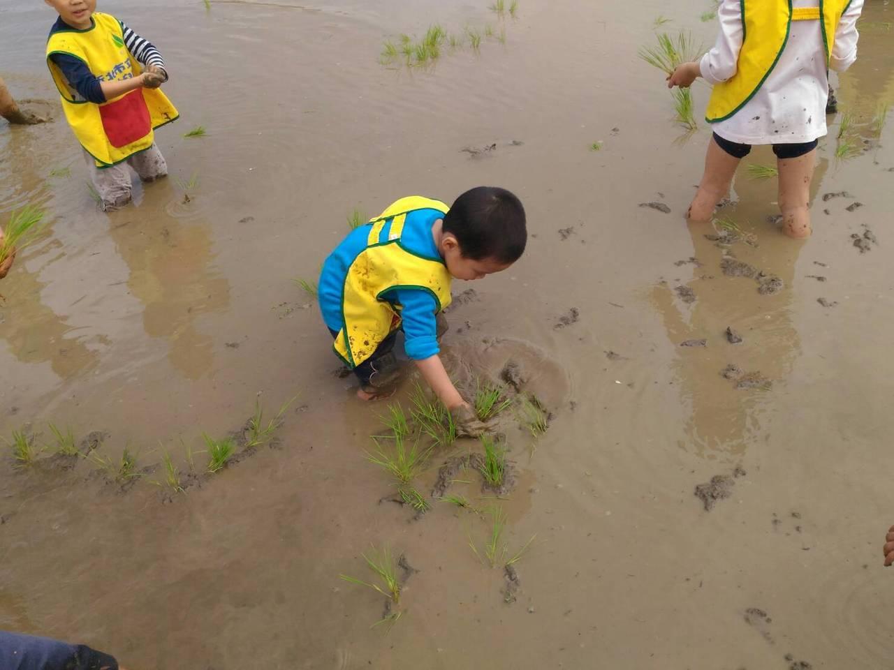 學童體驗插秧。圖/新北市農業局提供